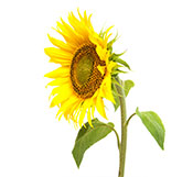 single-sunflower-birthday